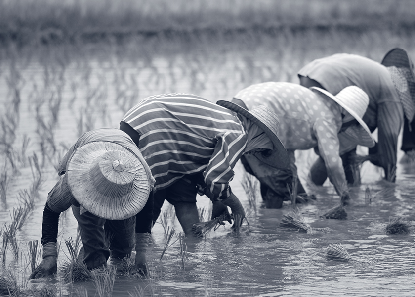 Image of farmers in a rice field